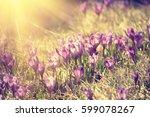 beautiful violet crocus flowers ...   Shutterstock . vector #599078267