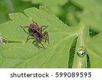 A Brown Garden Wolf Spider In...