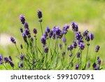 lavender flowers.  lavender...   Shutterstock . vector #599107091