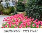 Pink Tulips In Garden By Stone...