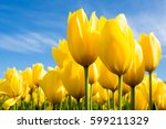 yellow tulips growing on a...