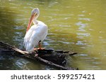 White Pelican Rest On A Log