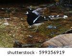 white crowned forktail ...   Shutterstock . vector #599356919
