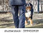 Bernese Mountain Dog Standing...