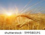 golden wheat close up on sun....   Shutterstock . vector #599580191