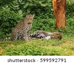 two leopard resting on a green grass