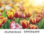Red Yellow Tulip Flower With...
