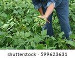 Harvest Of Green Fresh Beans In ...