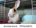 Small photo of Cute brown and white thai rabbit perk up one ear and sitting near her blue toilet in the cage