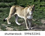 Lioness Standing On The Grass