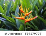 Bird Of Paradise Flower In The...
