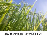 the green rice in the field... | Shutterstock . vector #599685569