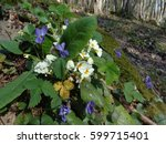 Primrose and violets, first spring flowers in sunny forest - stock photo