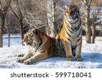 siberian tiger  panthera tigris ... | Shutterstock . vector #599718041