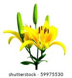 yellow lilly isolated over...   Shutterstock . vector #59975530