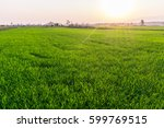 green rice field on sunset at... | Shutterstock . vector #599769515