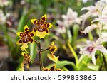 Vases Of Orchid Yellow Oncidium