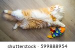 Stock photo fluffy redhead scottish fold playing with toy 599888954