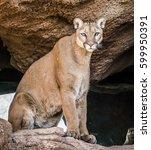 Desert Mountain Lion In Tucson...
