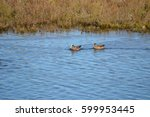Small photo of American widgeon ducks in the marshy waters of an ecological reserve
