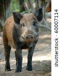 wild boar   Shutterstock . vector #60007114