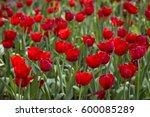 flower tulips background.... | Shutterstock . vector #600085289