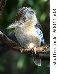 kookaburra kingfisher from... | Shutterstock . vector #60011503