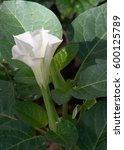 Small photo of Texture, pattern, background. Datura flower. an acutely disturbed state of mind that occurs in fever, intoxication, and other disorders and is characterized by restlessness, illusions, incoherence