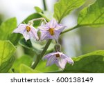 Small photo of Brinjal, eggplant, aubergine flowers which are purple in colour.