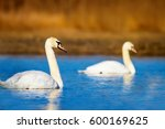 Swimming Swan. Blue Water And...