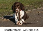 A Cute English Springer Spanie...
