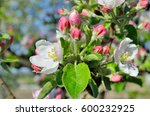 Young Apple Tree Flowers In Th...