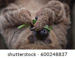 linnaeus's two toed sloth ... | Shutterstock . vector #600248837