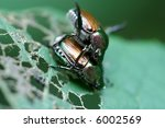 Japanese Beetles Mating On...