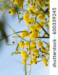 Small photo of Close up of yellow acacia (mimosa) trees on the nature, Almeria,Spain