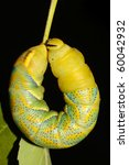 Small photo of hawk-moth (Death's-head) caterpillar rest on the branch / Acherontia atropos