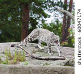Yawning Snow Leopard