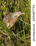 Small photo of An American Bittern in the grass