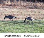 Pair Of Canadian Geese Eating...