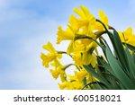 Daffodils In Spring. Spring...