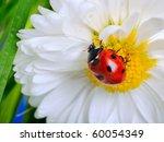 Ladybug On The  White Chamomiles