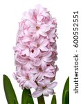 Blooming Hyacinth Flower...
