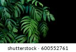 green leaves of monstera plant... | Shutterstock . vector #600552761