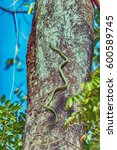 Small photo of Green snake is climbing on the tree.Snake, Green pit viper, Asian pit viper, Trimeresurus (Viperidae) in nature. HDR and Vintage style.