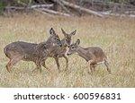 Three Young Deer Bucks Learnin...