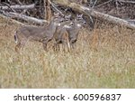 Three Young White Tailed Deer...