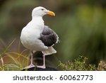 gull resting on a black rock....   Shutterstock . vector #60062773