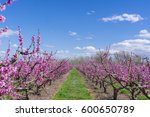 Blossoming Peach Tree In Aiton...