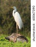 great egret resting on a log   Shutterstock . vector #60067390