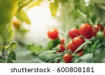 ripe cherry tomatoes bush with... | Shutterstock . vector #600808181